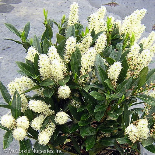 'Otto Luyken' Laurel - Buy Plants Online
