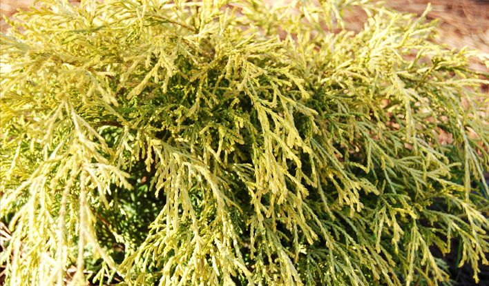 'Paul's Gold' Threadleaf Sawara Cypress