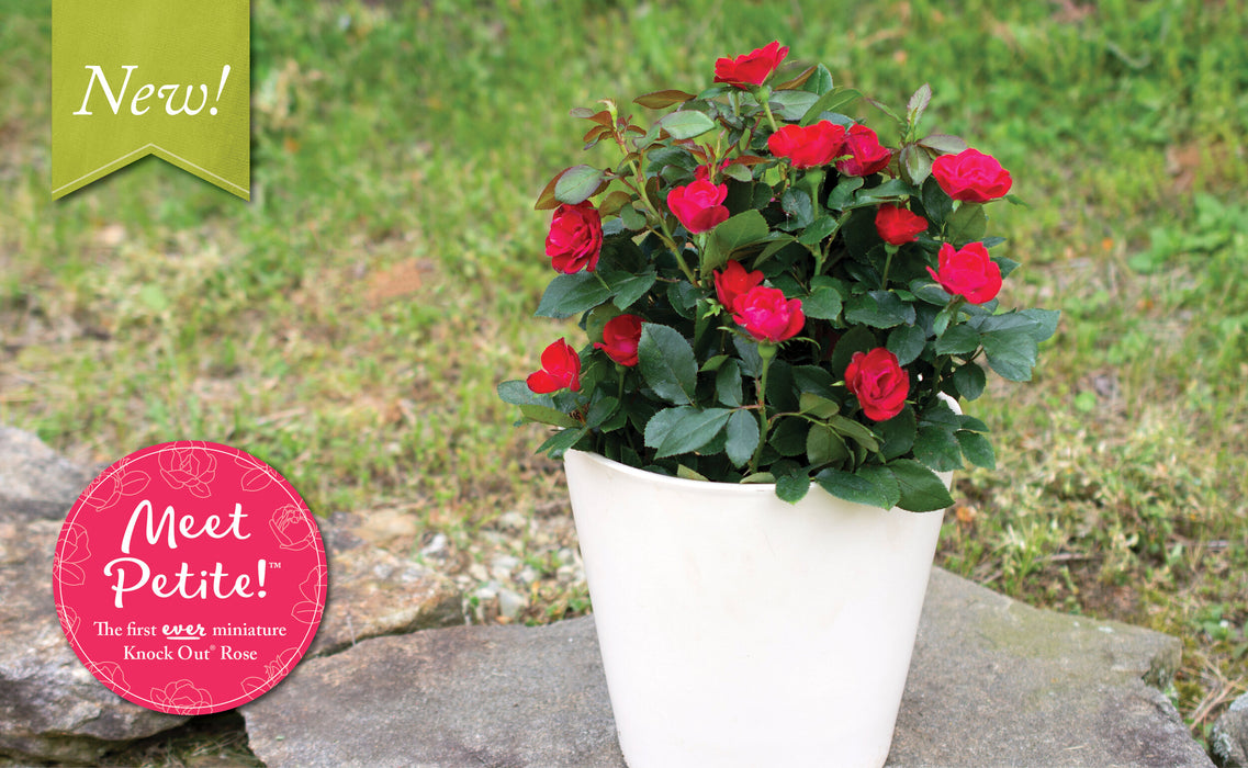 The Petite Knock Out Rose!  Full 2 Gallon Pot - Buy Plants Online
