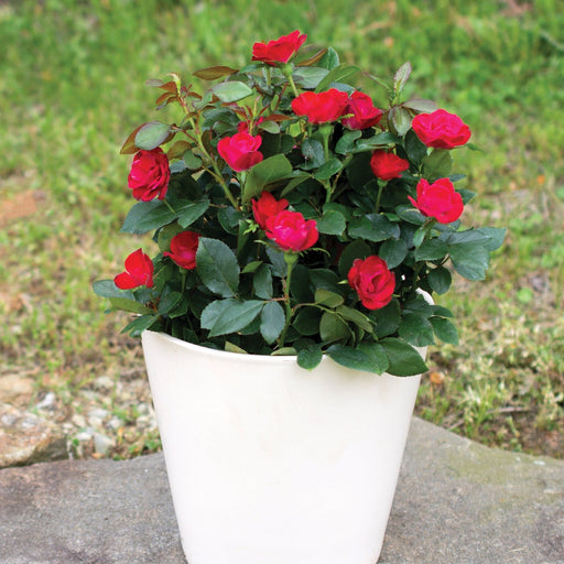The Petite Knock Out Rose!  Full 2 Gallon Pot