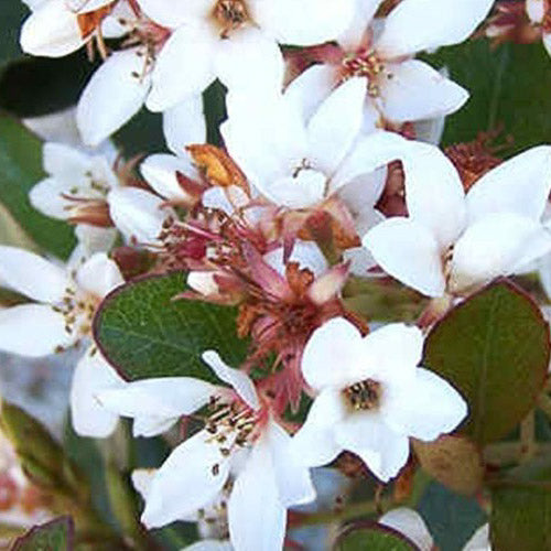 Snowcap® Indian Hawthorn up close, bloom