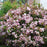 Eleanor Taber™ Indian Hawthorn - Buy Plants Online