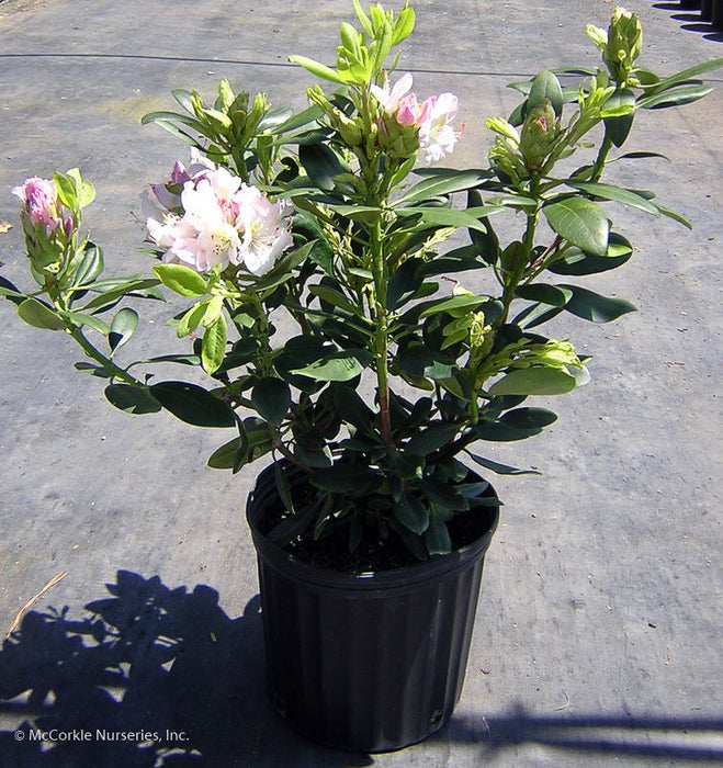 'Catawbiense Album' Rhododendron in container