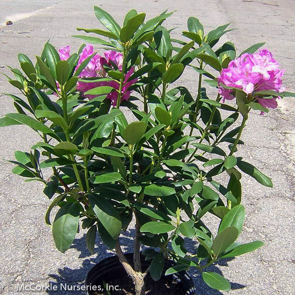 'English Roseum' Rhododendron - Buy Plants Online