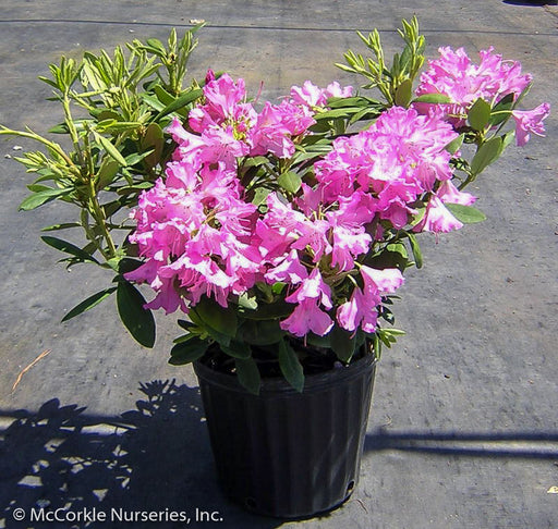 'Roseum Pink' Rhododendron in container