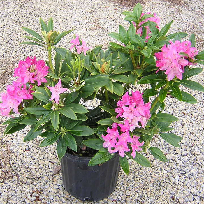 'Holden' Rhododendron - Buy Plants Online
