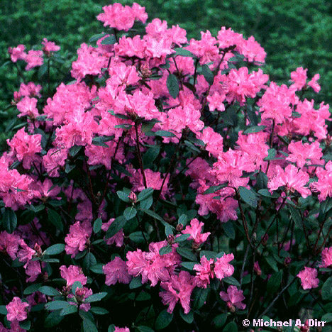 'PJM' Rhododendron - Outside.com