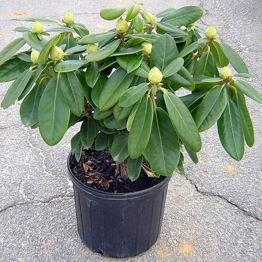 'Scintillation' Rhododendron in container