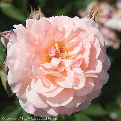 Apricot Drift® Rose - Buy Plants Online