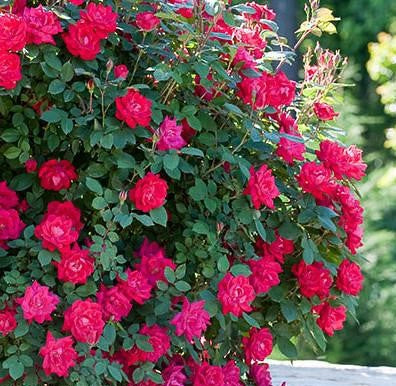 Double Knock Out® Rose - Buy Plants Online