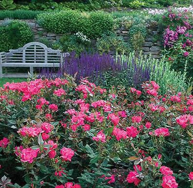 Knock Out® Rose landscape shot