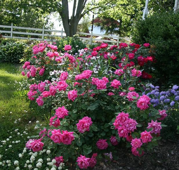 Pink Double Knock Out® Rose landscape shot