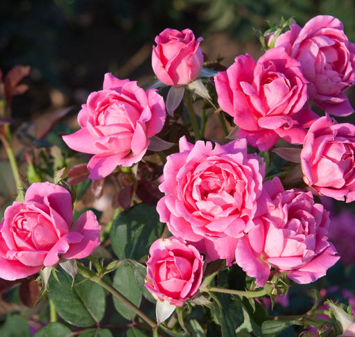 Pink Double Knock Out® Rose - Outside.com