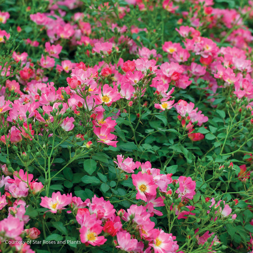 Pink Drift® Rose - Buy Plants Online