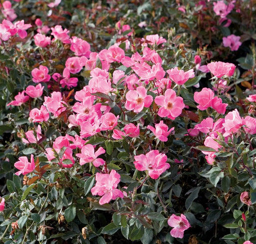 Pink Knock Out® Rose - Buy Plants Online