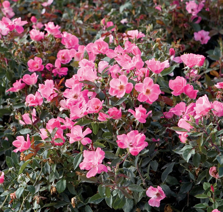 Pink Knock Out® Rose