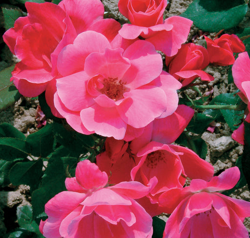 Pink Knock Out® Rose up close, bloom