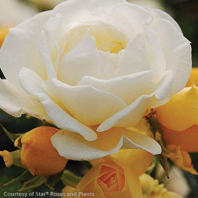 Popcorn Drift® Rose - Buy Plants Online