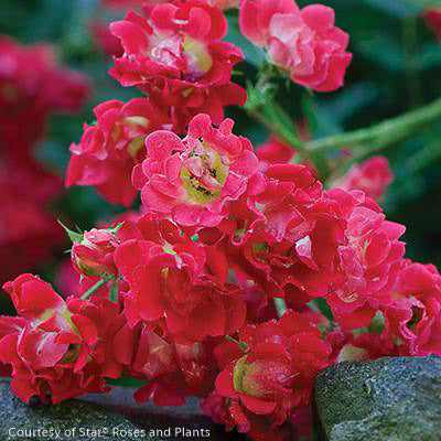 Red Drift® Rose - Buy Plants Online