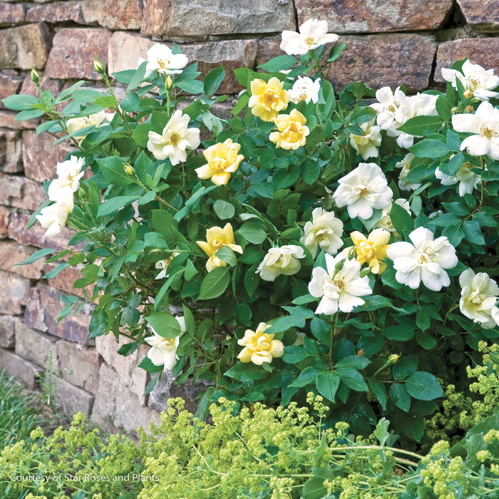 Sunny Knock Out® Rose