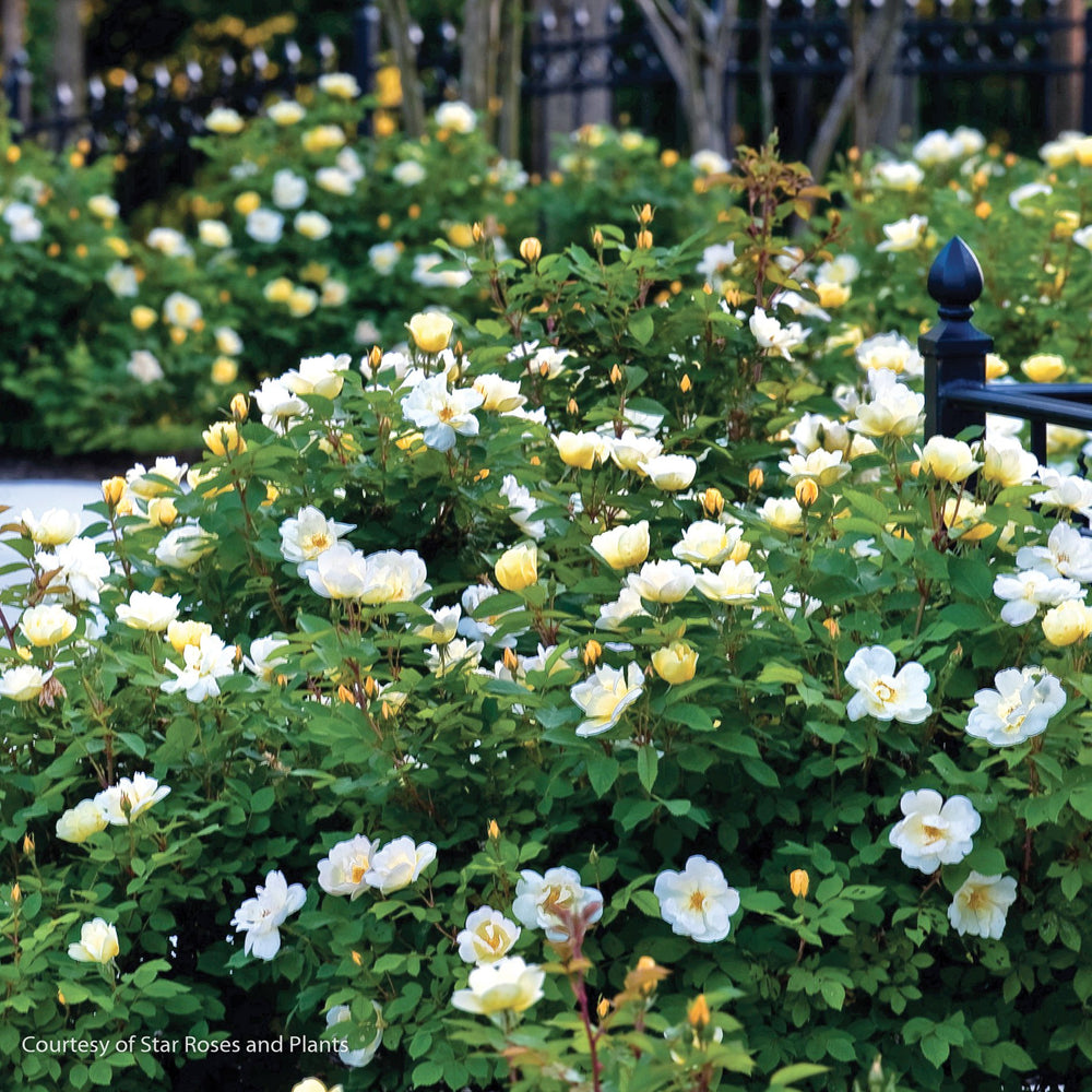Sunny Knock Out® Rose - Buy Plants Online