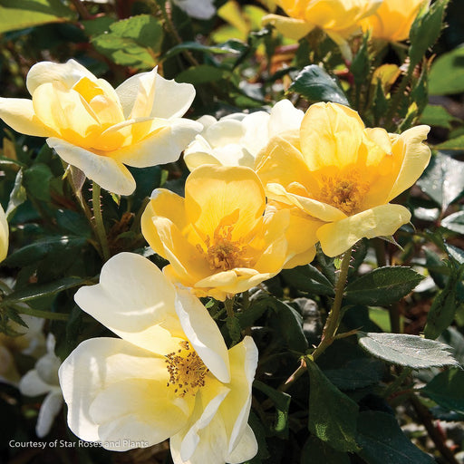 Sunny Knock Out® Rose up close, bloom