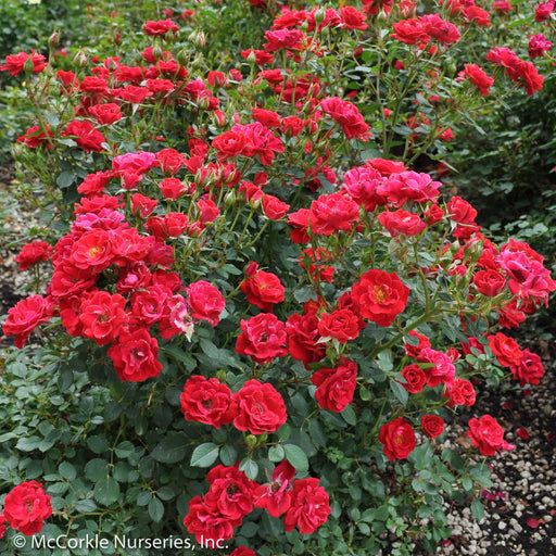 Sunrosa™ Red Rose - Buy Plants Online