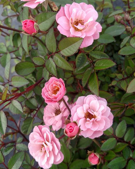 Sunrosa™ Soft Pink Rose up close, bloom