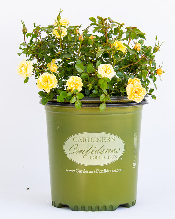 Sunrosa™ Yellow Rose - Buy Plants Online