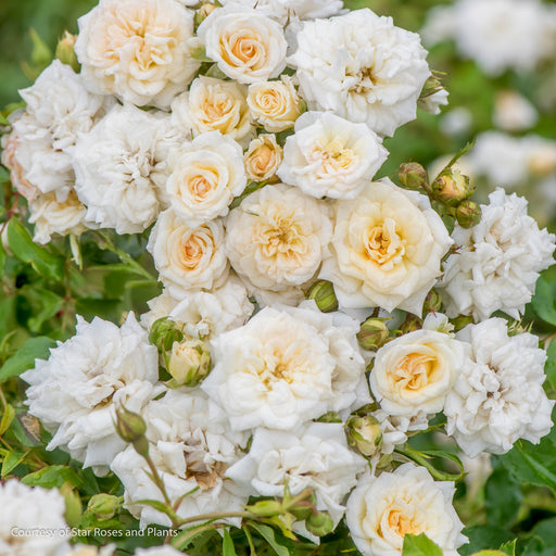White Drift® Rose - Buy Plants Online