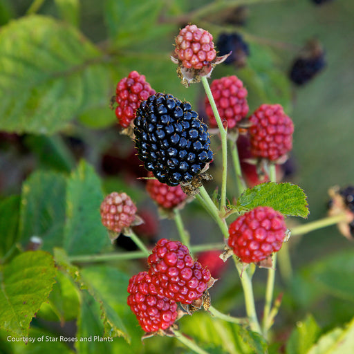Baby Cakes™ Blackberry - Buy Plants Online