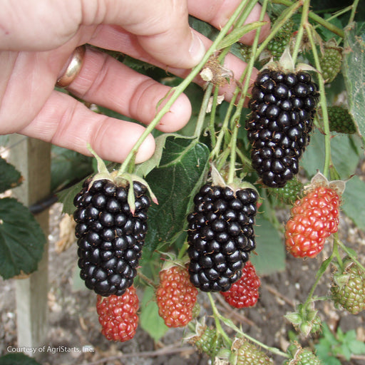 'Natchez' Thornless Blackberry - Buy Plants Online