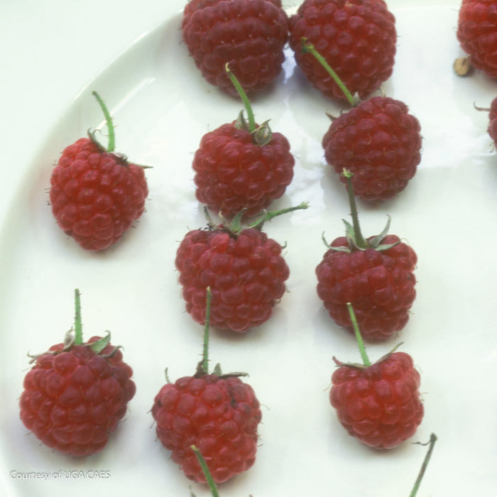 'Caroline' Raspberry - Buy Plants Online