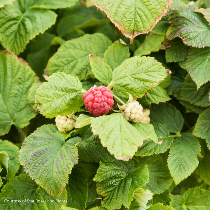 Raspberry Shortcake® - Buy Plants Online