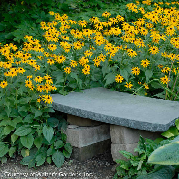 'Goldsturm' Black-Eyed Susan landscape shot