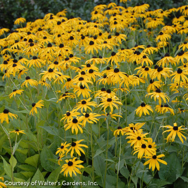 'Goldsturm' Black-Eyed Susan - Outside.com