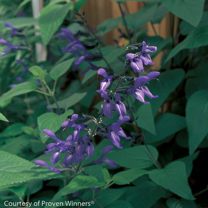 'Black and Blue' Sage - Buy Plants Online