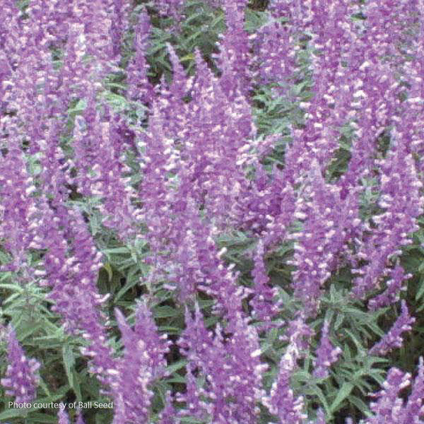 'Santa Barbara' Sage - Buy Plants Online