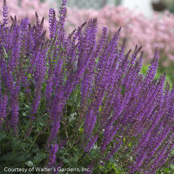 'May Night' Salvia - Buy Plants Online
