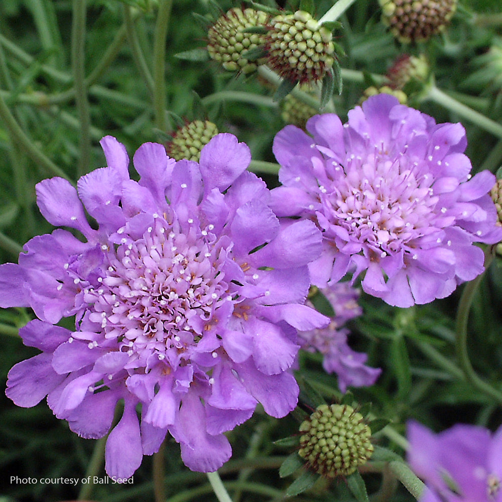 'Butterfly Blue' Pincushion Flower