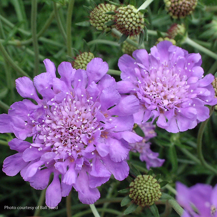 'Butterfly Blue' Pincushion Flower - Buy Plants Online