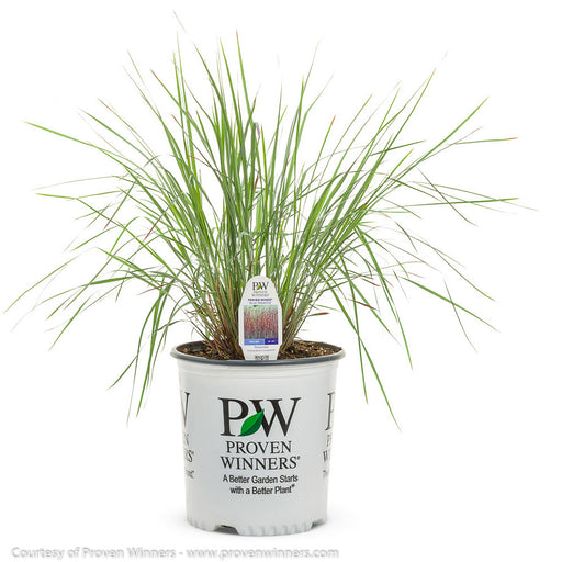 Prairie Winds® 'Blue Paradise' Little Bluestem Grass in container
