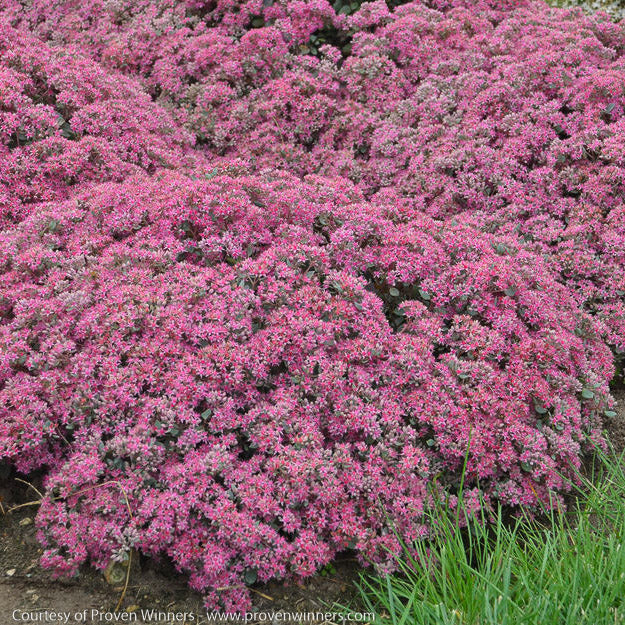 Rock 'N Grow® 'Popstar' Stonecrop - Buy Plants Online