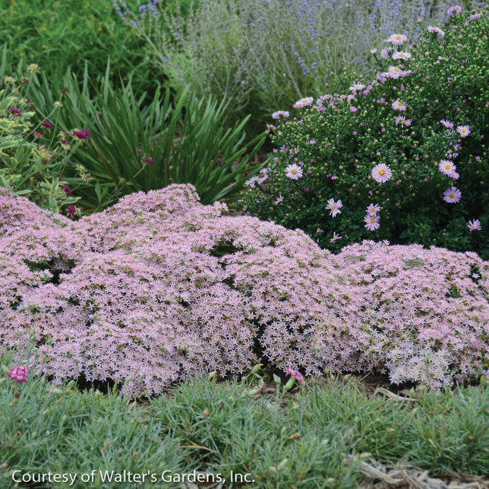 Rock 'N Grow® 'Pure Joy' Stonecrop landscape shot