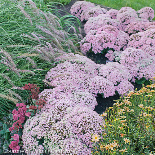 Rock 'N Grow® 'Pure Joy' Stonecrop - Buy Plants Online