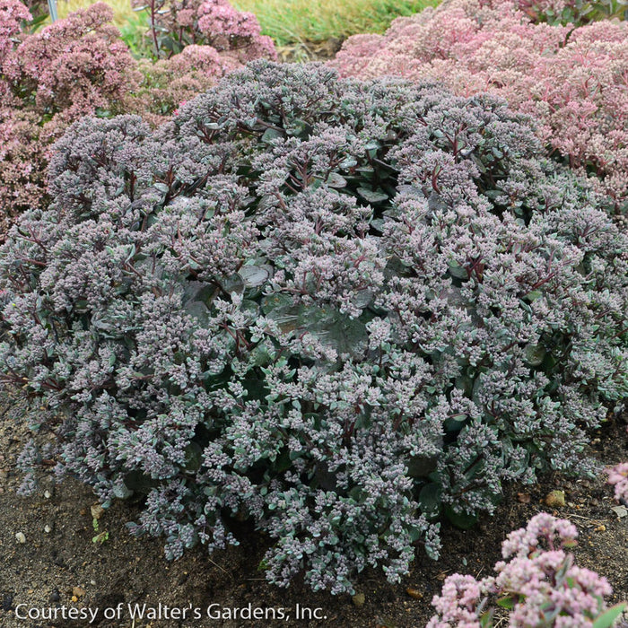 Rock 'N Grow® 'Superstar' Stonecrop - Buy Plants Online