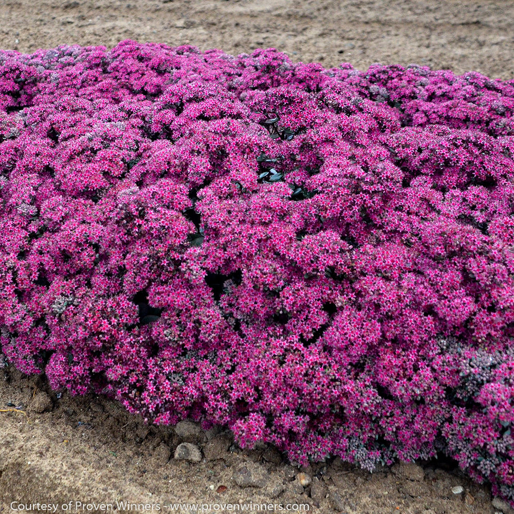 Rock 'N Grow® 'Superstar' Stonecrop - Outside.com