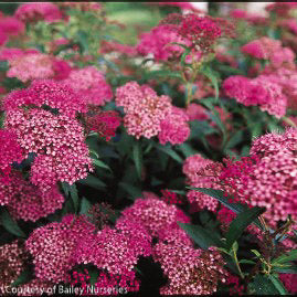 'Anthony Waterer' Spirea - Outside.com