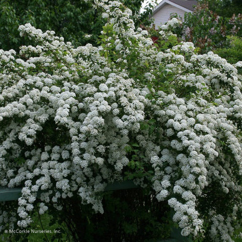 Reeves Spirea - Buy Plants Online