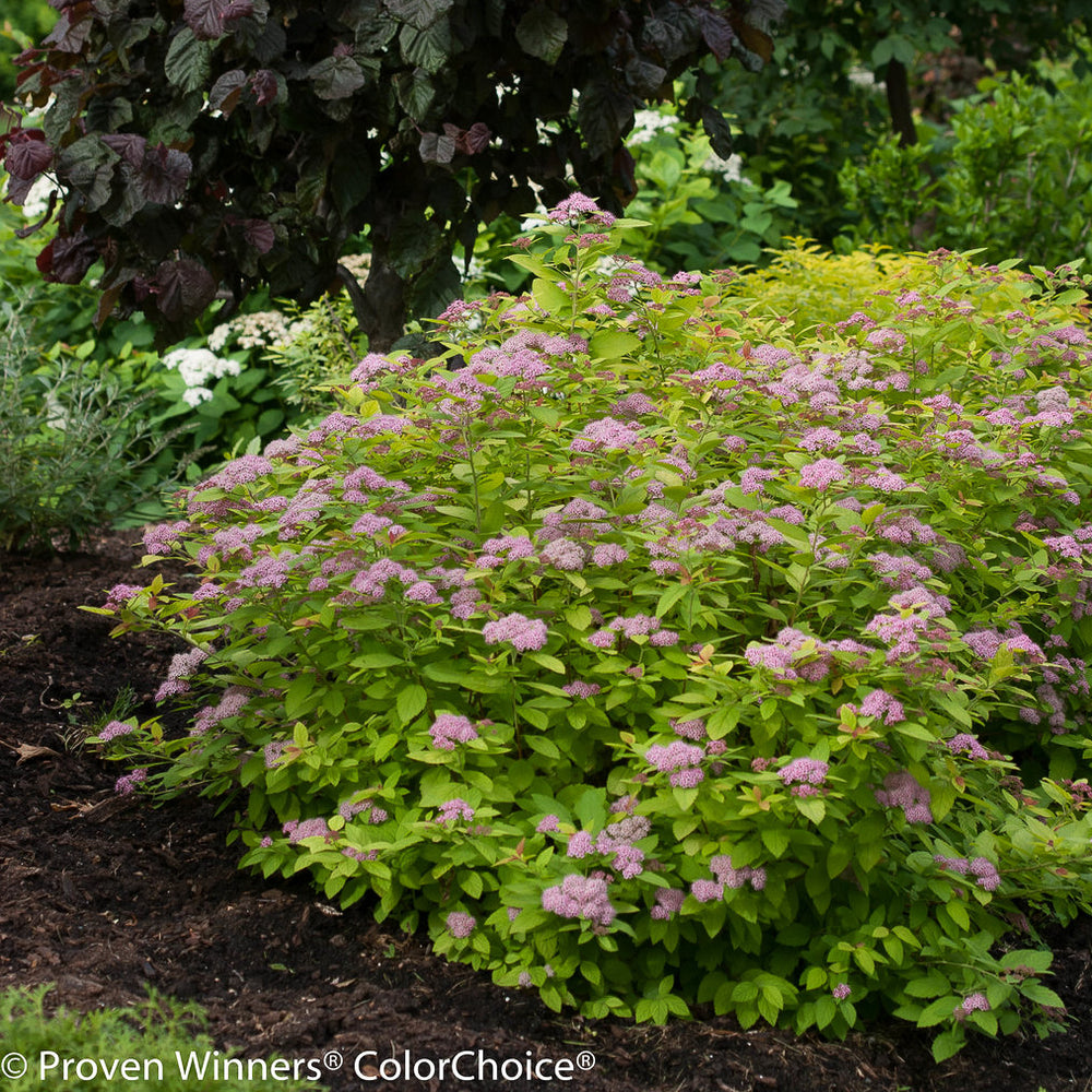 Double Play® Big Bang™ Spirea